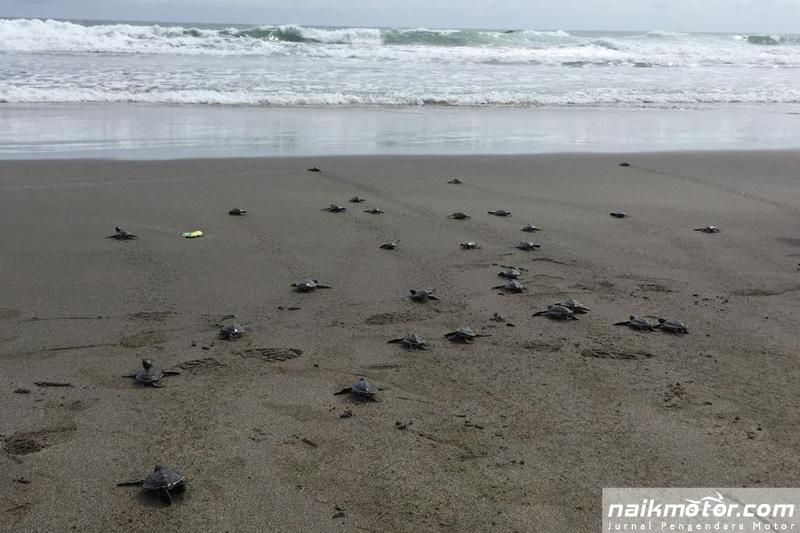 Lestarikan Satwa Endemik, Pertamina Lepasliarkan 50 Ekor Penyu Hijau